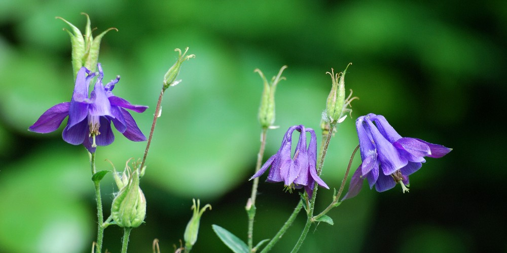 Photo of Aquilegia vulgaris by Peter Rühr from Wikimedia Commons.